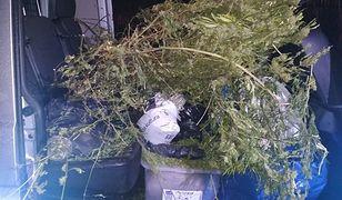 W domu zatrzymanego mężczyzny zabezpieczono nasiona, susz roślinny i krzewy marihuany.