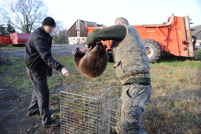 Populacja bobrów w regionie miała gwałtownie wzrosnąć