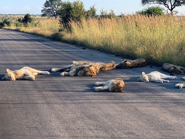 Lwy ucięły sobie drzemkę na asfalce