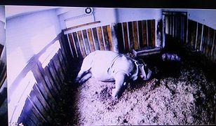 Trzeci nosorożec w warszawskim zoo. Gratulujemy Shikari i Kubie
