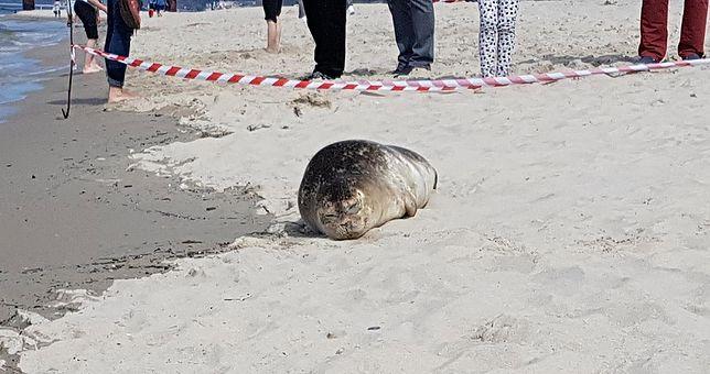 Według danych z 2014 r. w Bałtyku żyło ponad 32 tys. fok, czyli cztery razy mniej niż pod koniec XIX w.