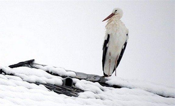 Wyziębione bociany na Białołęce