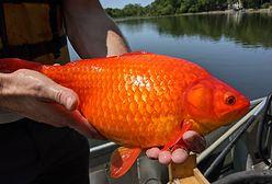 """Złote rybki-giganty opanowały jezioro. """"Nie wyrzucajcie ich. Urosną większe niż myślicie"""""""