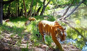 Sensacyjne nagranie. Cztery amurskie tygrysy przyłapane u wodopoju