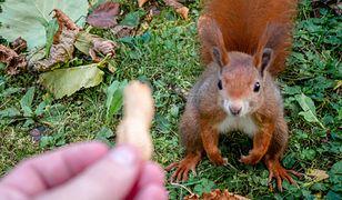 Mieszkaniec Ursynowa uratował malutką wiewiórkę