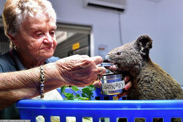 Koala uratowany z pożaru buszu