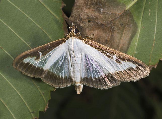 Motyl, zwany ćmą bukszpanową, to zguba barokowych ogrodów