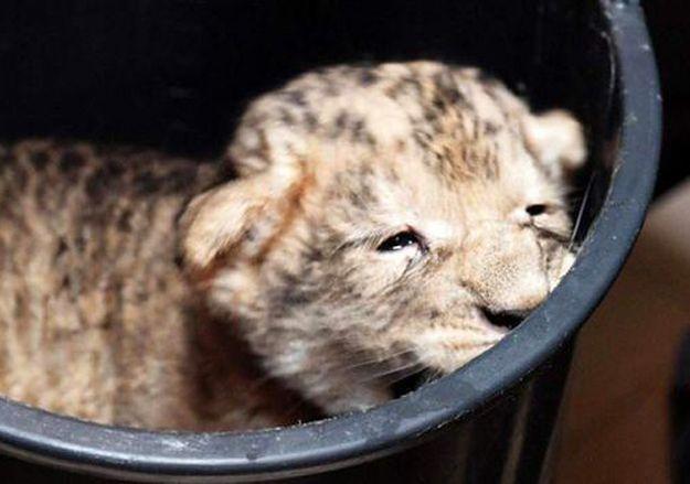 Mały lew Moco po urodzeniu