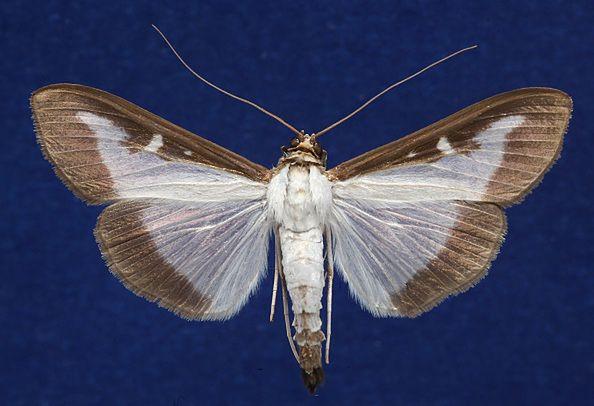 Ćma azjatycka - inwazyjny gatunek, który ciężko zwalczyć.