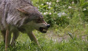 Wilki zjadły im psa. Nagłośnili sprawę i spadła na nich fala hejtu