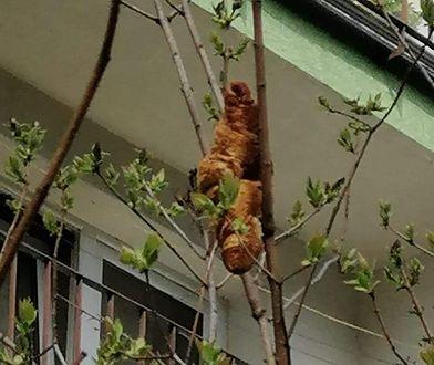 Kraków. Egzotyczne zwierzę na drzewie? Niekoniecznie