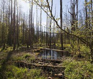 W nadleśnictwie Białowieża do lasu nie wejdziesz. Do odwołania