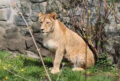 Chorzów. Śląski Ogród Zoologiczny ma nowego mieszkańca. To lwica Anoona