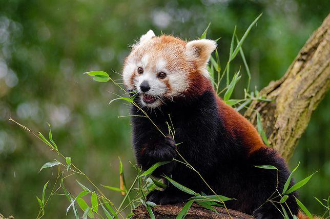Płock. Panda mała zamieszkała w zoo