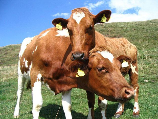 Parlament Europejski za całkowitym zakazem klonowania zwierząt w UE