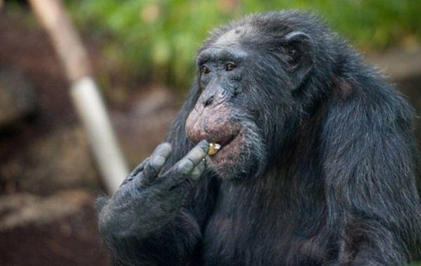 Szympansy skonstruowały drabinę i uciekły z zoo