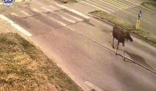 Zdarza się, że łosie wchodzą do parków w miastach - na zdjęciu zwierzę na jezdni na przedmieściach Lublina
