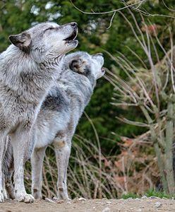 """Wataha wilków w gorczańskich lasach. """"Apelujemy o ostrożność"""""""