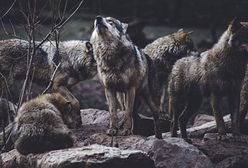 Myślałem, że tropię wilka, ale to on tropił mnie