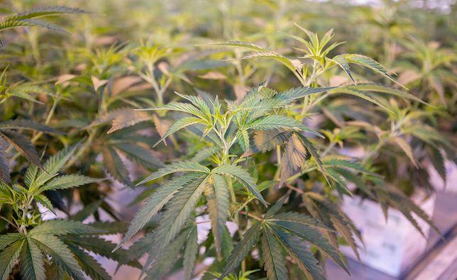 100 kilogramów marihuany tygodniowo może trafiać do Polski. Wszystko legalnie