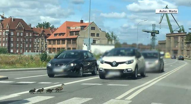 Gdańsk. Szła kacza rodzina, kierowca rozjechał pisklę. Policja już go namierza