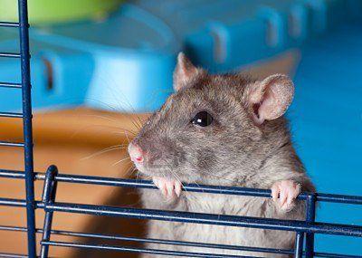 zajumane z hamster-rat.blog.onet.pl