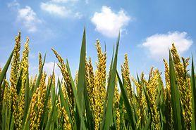 Nie szkalujcie GMO - naukowcy apelują do Greenpeace