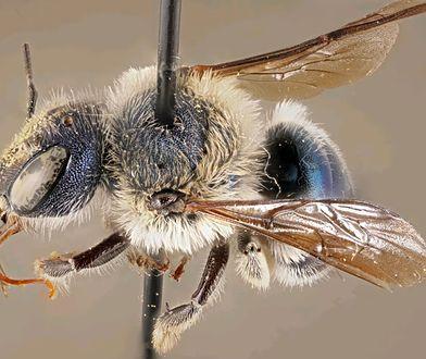Niezwykle rzadka niebieska pszczoła. Badacze odkryli ją na Florydzie