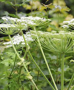 Niezwykle toksyczna roślina wróciła. Nadleśnictwa alarmują