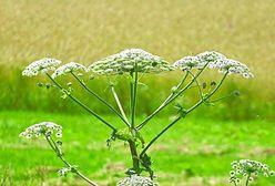 Barszcz Sosnowskiego. Sanepid ostrzega przed groźną i inwazyjną rośliną