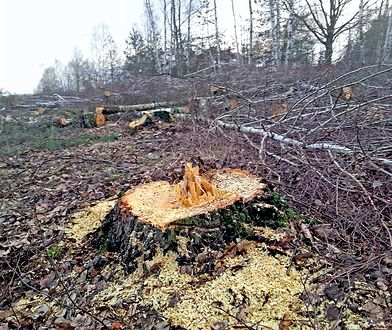 Wycieli chroniony las w Łebie. Dwie osoby z zarzutami