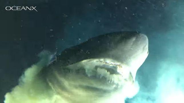 Rekin większy niż łódź podwodna.