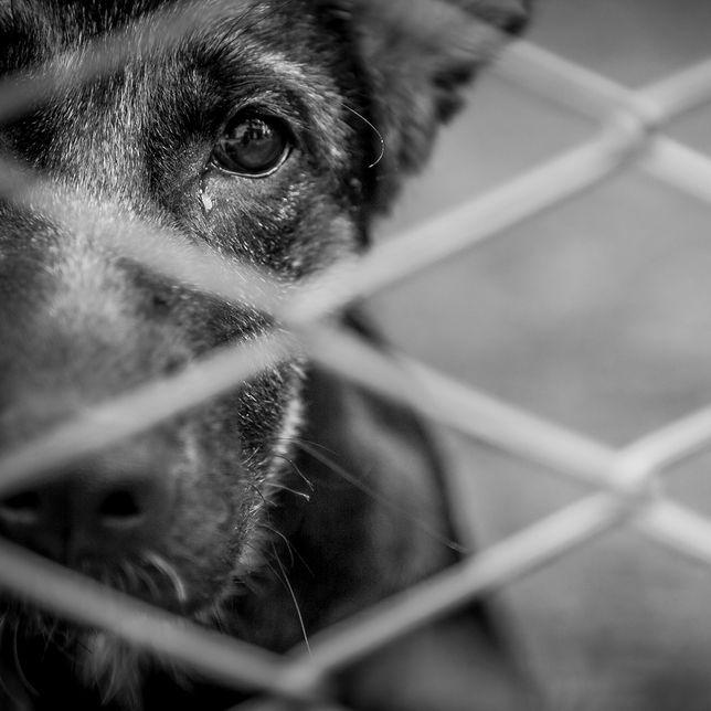 Znęcał się nad kilkudziesięcioma zwierzętami hodowlanymi. Dostał 2,5 roku więzienia