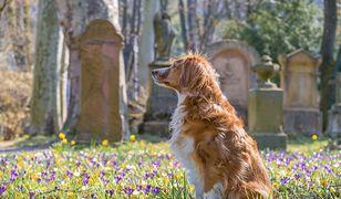 Pies zamieszkał na cmentarzu. Od dwóch lat opłakuje właściciela