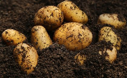 Polskie ziemniaki są gorsze? Polacy coraz częściej wybierają zagraniczne warzywa
