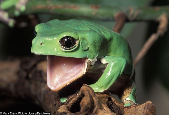 Używany w trakcie ceremonii kambo trujący jad pochodzi od żaby z Amazonii