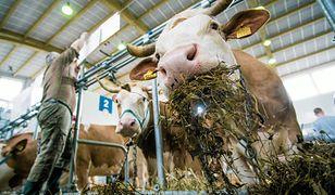 Nowe przepisy poskromią niezadowolonych miastowych? Wiejskie zapachy mają znaleźć się pod ochroną