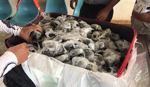 Galapagos. Prawie 200 maleńkich żółwi w walizce
