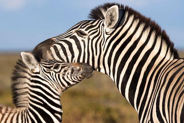 Tajemnica pasków zebry została rozwiązana