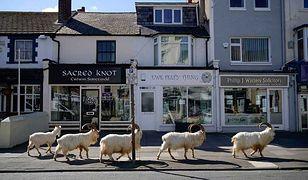 Koronawirus w Wielkiej Brytanii: miasto opustoszało. Pojawiło się w nim stado kóz
