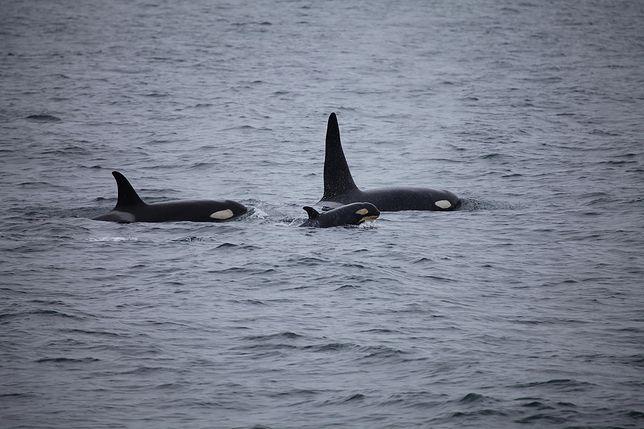 Hiszpania. Od dwóch miesięcy Orki atakują żeglowce i male statki / foto ilustracyjne