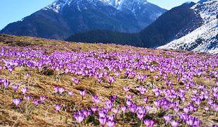 Na Polanie Chochołowskiej kwitnie nawet kilkanaście milionów krokusów