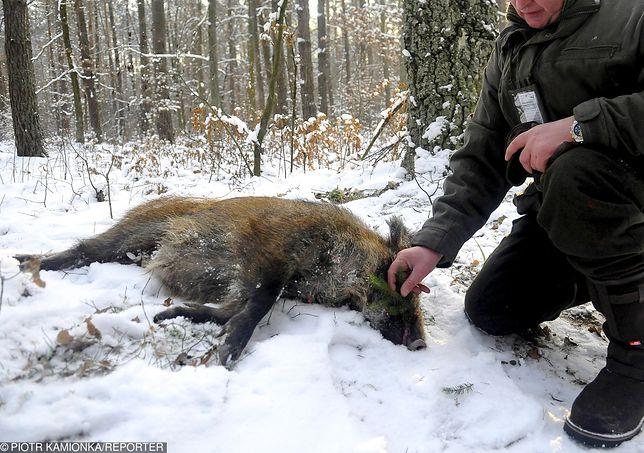 Szalony pomysł ministra środowiska. W styczniu będą trzy ogólnopolskie masakry dzików