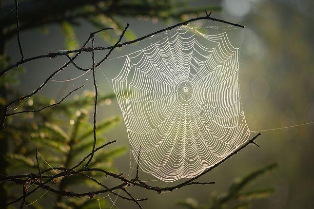 Niesamowita muzyka. Naukowcy stworzyli ją dzięki pajęczynie