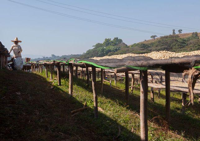Zmiany klimatyczne mogą przyczynić się za załamania się rynku kawy w Etiopii