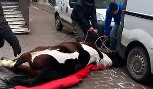 Koń padł w centrum Krakowa. Sprawa trafiła do prokuratury
