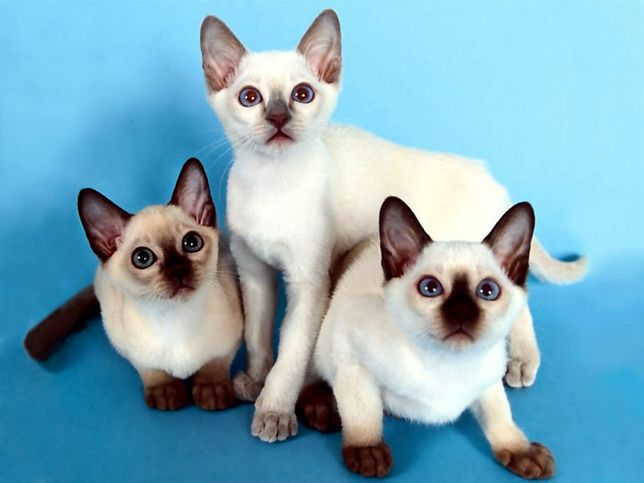 Wystawa najpiękniejszych kotów rasowych na Bielanach