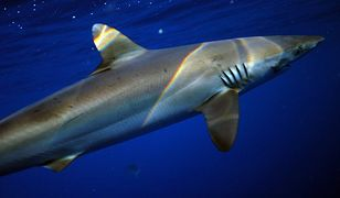 Najniebezpieczniejsze rekiny świata