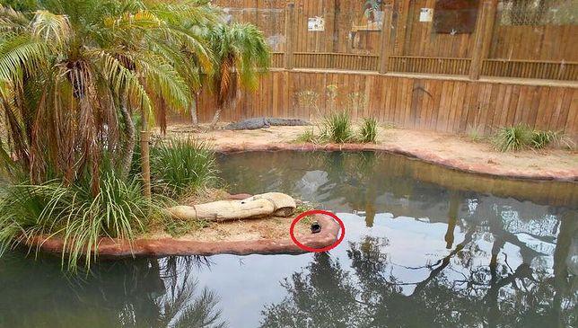 Mężczyzna włamał się do zoo na Florydzie, żeby popływać z krokodylami