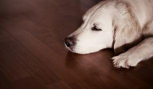 Podłoga w salonie odporna na zwierzęce pazury. Panele czy deski podłogowe?